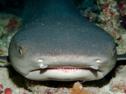 Nurse shark. Tubbataha reef Philippines by Andrew Macleod 